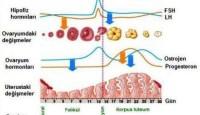 Menstrüel Döngüsü (Adet Döngüsü) Evreleri