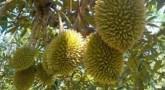 Durian (Duryan) Meyvesi: Besin Değeri, Yan Etkileri ve Sağlığa Faydaları